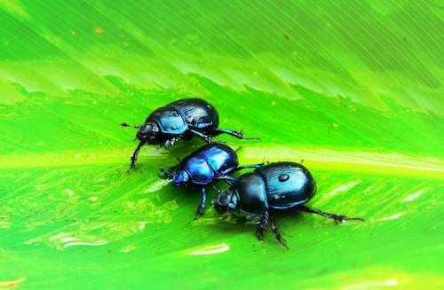 beetles on a leaf